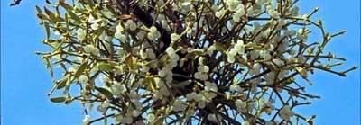 Омела белая